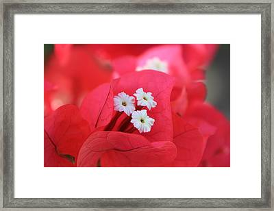 Framed Print featuring the photograph Bougainvilleas And White by Edward R Wisell