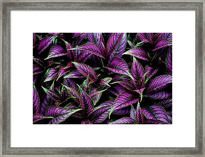 Bouquet Of Persian Shield Framed Print