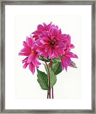 Bouquet Of Rose Violet Dahlias Framed Print