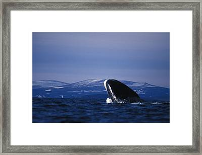Bowhead Whale Balaena Mysticetus Framed Print by Nick Norman