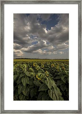 Bowing Sunflowers Framed Print by Chris Harris