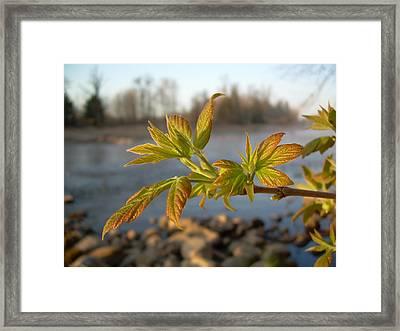 Framed Print featuring the photograph Box Elder Leaves In Dawn Light by Kent Lorentzen