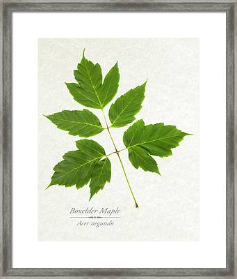 Box Elder Maple Framed Print