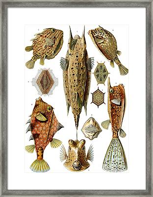 Box Fishes Framed Print