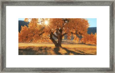Boxelder's Autumn Tree Framed Print