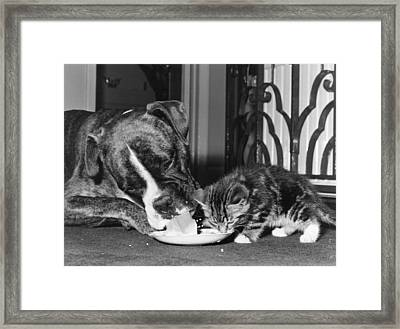 Boxer And Kitten Framed Print by Evening Standard