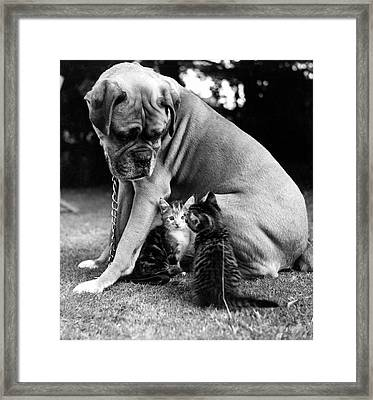 Boxer And Kittens Framed Print by Ray Moreton