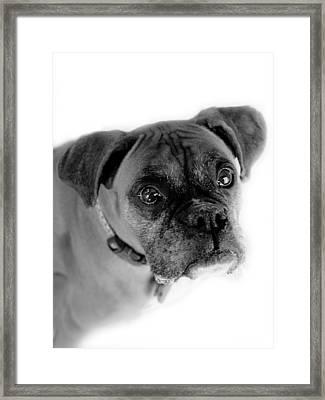 Boxer Dog Framed Print by Marilyn Hunt