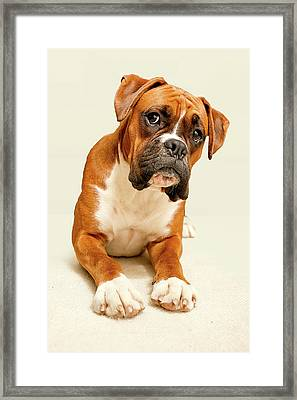 Boxer Dog On Ivory Backdrop Framed Print