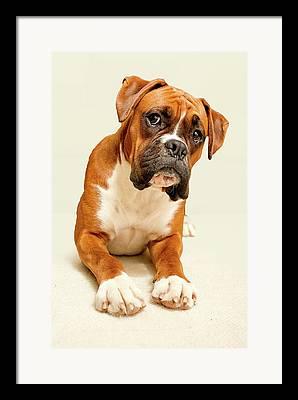 Boxer Dog Photographs Framed Prints