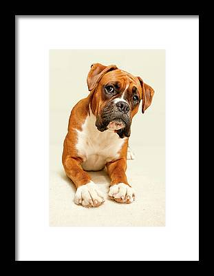White Boxer Dog Framed Prints
