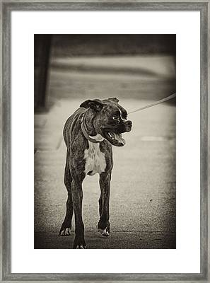 Boxer Framed Print by Off The Beaten Path Photography - Andrew Alexander