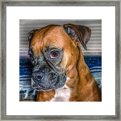 Boxer Portrait Framed Print by Rob Sellers