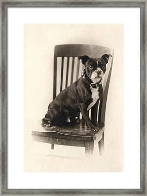 Boxer Sitting On A Chair Framed Print by Unknown