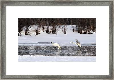 Brace For Impact - Trumpeter Swans Framed Print by TL Mair