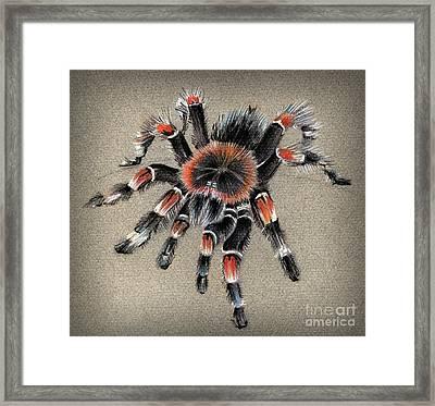 Brachypelma Smithi  Mexican Red Knee Tarantula Framed Print