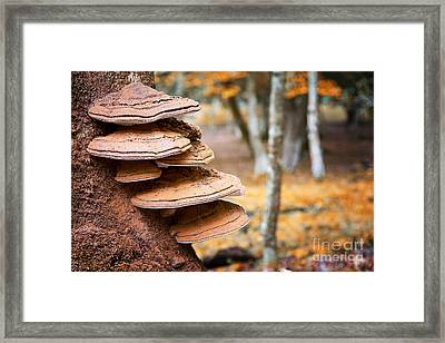 Bracket Fungus On Beech Tree Framed Print by Jane Rix