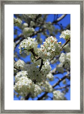 Bradford Pear Blossoms Framed Print by Suzanne Gaff