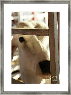 Framed Print featuring the photograph Brahma Love - 2 by Linda Shafer