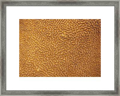 Brain Coral 47 Framed Print