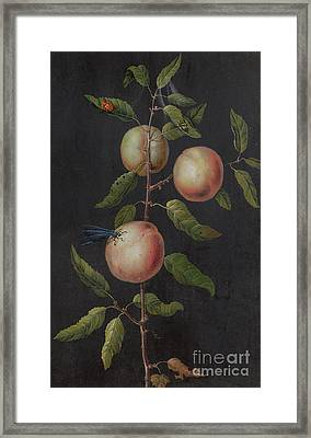 Branch Of A Pear Tree Framed Print
