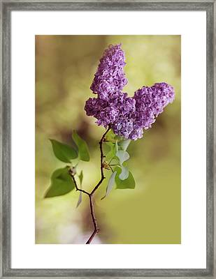 Branch Of Fresh Violet Lilac Framed Print