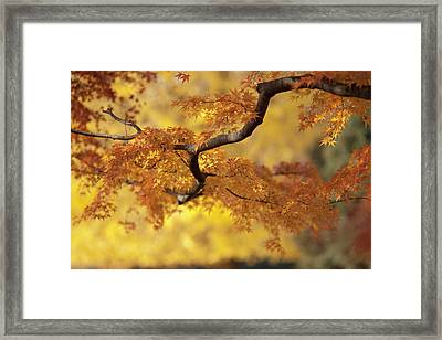 Branch Of Japanese Maple In Autumn Framed Print by Benjamin Torode