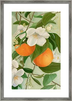 Branch Of Orange Tree In Bloom Framed Print