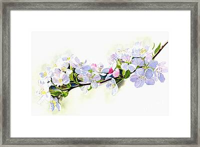 Branch Of White Shadowed Apple Blossoms Framed Print