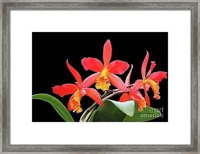 Brassolaeliocattleya Lily Marie Almas 'mrg' Orchid Framed Print by Judy Whitton