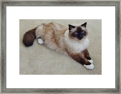 Brassy Our Birman Framed Print by VLee Watson