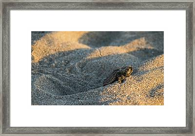 Brave Beginnings Sea Turtle Hatchling Delray Beach Florida Framed Print