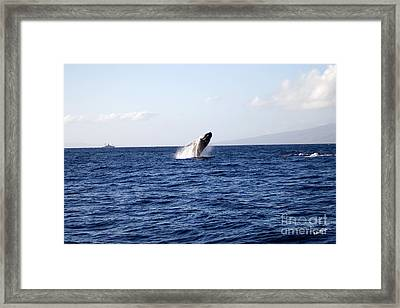 Breaching Humpback Framed Print by Scott Pellegrin