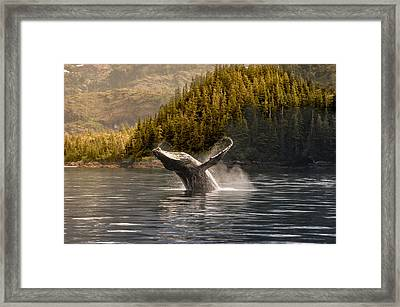Breaching Humpback Whale In Prince Framed Print