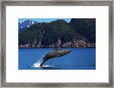 Breaching Humpback Whale Framed Print by Skeeze