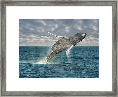 Breaching Whale Framed Print