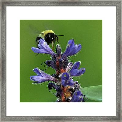 Framed Print featuring the photograph Bumble Bee Breakfast by Glenn Gordon