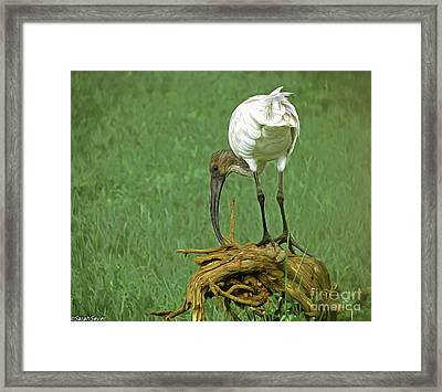 Breakfast With The Ibis Framed Print