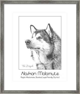 Breed Poster Alaskan Malamute Framed Print by Tim Wemple