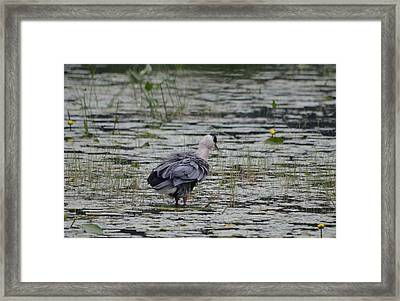 Breezy Blue- Great Blue Heron Framed Print by David Porteus
