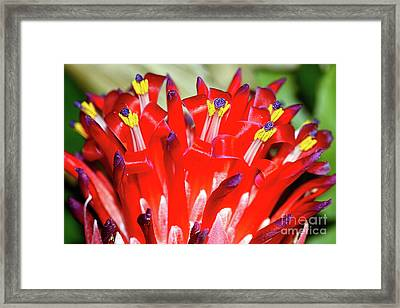 Bright Blooming Bromeliad By Kaye Menner Framed Print