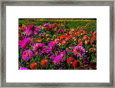 Bright Colorful Dahlias Framed Print by Garry Gay