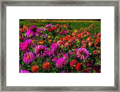 Bright Colorful Dahlias Framed Print