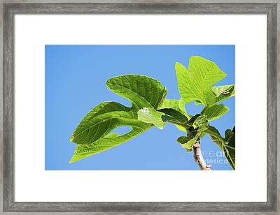 Bright Green Fig Leaf Against The Sky Framed Print by Cesar Padilla