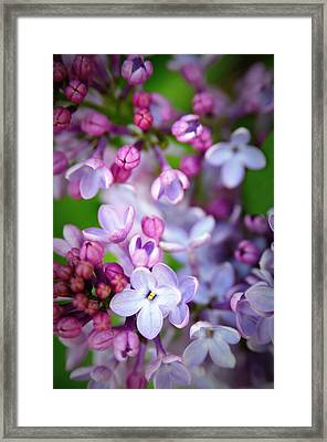 Bright Lilacs Framed Print by The Forests Edge Photography - Diane Sandoval