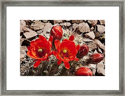 Framed Print featuring the photograph Bright Orange Cactus Blossoms by Phyllis Denton