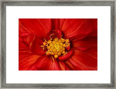 Bright Orange Dahlia Framed Print by Tracie Kaska
