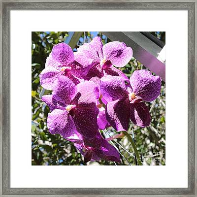 Bright Orchids Framed Print by Carol Groenen