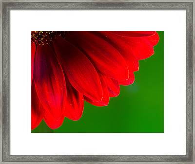 Bright Red Chrysanthemum Flower Petals And Stamen Framed Print