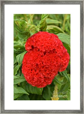 Bright Red Cockscomb Framed Print